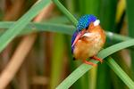 Malachite Kingfisher, Alcedo cristata, Lake Manyara National Park, Tanzania, Africa, KingfisherM25835.CR2