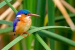 Malachite Kingfisher, Alcedo cristata, Lake Manyara National Park, Tanzania, Africa, KingfisherM25925.CR2