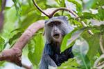 Sykes' monkey, Cercopithecus albogularis, Lake Manyara National Park, Tanzania, Africa, MonkeyS24535DnNikAzs_P.tiff