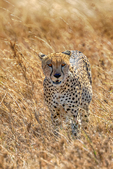 Cheetah, Acinonyx jubatus, fastest land mammal, 0 to 60 in 3 seconds and top speed of 70 mph; Serengeti National Park, ecosystem is a geographical region in Africa. It is located in northern Tanzania. It spans approximately 30,000 km2 (12,000 sq mi). The Serengeti hosts the second largest terrestrial mammal migration in the world, which helps secure it as one of the Seven Natural Wonders of Africa,[1] and as one of the ten natural travel wonders of the world.[2] The Serengeti is also renowned for its large lion population and is one of the best places to observe prides in their natural environment.[3] The region contains the Serengeti National Park in Tanzania and several game reserves. Approximately 70 large mammal and 500 bird species are found there. This high diversity is a function of diverse habitats, including riverine forests, swamps, kopjes, grasslands, and woodlands.[4] Blue wildebeests, gazelles, zebras, and buffalos are some of the commonly found large mammals in the region. (Wiki ref) Tanzania, is in East Africa, Africa, Cheetah20618hshz2.tif