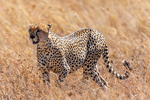 Cheetah, Acinonyx jubatus, fastest land mammal, 0 to 60 in 3 seconds and top speed of 70 mph; Serengeti National Park, ecosystem is a geographical region in Africa. It is located in northern Tanzania. It spans approximately 30,000 km2 (12,000 sq mi). The Serengeti hosts the second largest terrestrial mammal migration in the world, which helps secure it as one of the Seven Natural Wonders of Africa,[1] and as one of the ten natural travel wonders of the world.[2] The Serengeti is also renowned for its large lion population and is one of the best places to observe prides in their natural environment.[3] The region contains the Serengeti National Park in Tanzania and several game reserves. Approximately 70 large mammal and 500 bird species are found there. This high diversity is a function of diverse habitats, including riverine forests, swamps, kopjes, grasslands, and woodlands.[4] Blue wildebeests, gazelles, zebras, and buffalos are some of the commonly found large mammals in the region. (Wiki ref) Tanzania, is in East Africa, Africa, Cheetah22272as.tif