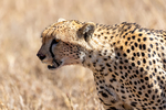 Cheetah, Acinonyx jubatus, fastest land mammal, 0 to 60 in 3 seconds and top speed of 70 mph; Serengeti National Park, ecosystem is a geographical region in Africa. It is located in northern Tanzania. It spans approximately 30,000 km2 (12,000 sq mi). The Serengeti hosts the second largest terrestrial mammal migration in the world, which helps secure it as one of the Seven Natural Wonders of Africa,[1] and as one of the ten natural travel wonders of the world.[2] The Serengeti is also renowned for its large lion population and is one of the best places to observe prides in their natural environment.[3] The region contains the Serengeti National Park in Tanzania and several game reserves. Approximately 70 large mammal and 500 bird species are found there. This high diversity is a function of diverse habitats, including riverine forests, swamps, kopjes, grasslands, and woodlands.[4] Blue wildebeests, gazelles, zebras, and buffalos are some of the commonly found large mammals in the region. (Wiki ref) Tanzania, is in East Africa, Africa, Cheetah22346as1.tif