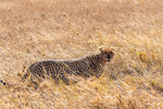 Cheetah, Acinonyx jubatus, fastest land mammal, 0 to 60 in 3 seconds and top speed of 70 mph; Serengeti National Park, ecosystem is a geographical region in Africa. It is located in northern Tanzania. It spans approximately 30,000 km2 (12,000 sq mi). The Serengeti hosts the second largest terrestrial mammal migration in the world, which helps secure it as one of the Seven Natural Wonders of Africa,[1] and as one of the ten natural travel wonders of the world.[2] The Serengeti is also renowned for its large lion population and is one of the best places to observe prides in their natural environment.[3] The region contains the Serengeti National Park in Tanzania and several game reserves. Approximately 70 large mammal and 500 bird species are found there. This high diversity is a function of diverse habitats, including riverine forests, swamps, kopjes, grasslands, and woodlands.[4] Blue wildebeests, gazelles, zebras, and buffalos are some of the commonly found large mammals in the region. (Wiki ref) Tanzania, is in East Africa, Africa, Cheetah26550.CR2