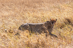 Cheetah, Acinonyx jubatus, fastest land mammal, 0 to 60 in 3 seconds and top speed of 70 mph; Serengeti National Park, ecosystem is a geographical region in Africa. It is located in northern Tanzania. It spans approximately 30,000 km2 (12,000 sq mi). The Serengeti hosts the second largest terrestrial mammal migration in the world, which helps secure it as one of the Seven Natural Wonders of Africa,[1] and as one of the ten natural travel wonders of the world.[2] The Serengeti is also renowned for its large lion population and is one of the best places to observe prides in their natural environment.[3] The region contains the Serengeti National Park in Tanzania and several game reserves. Approximately 70 large mammal and 500 bird species are found there. This high diversity is a function of diverse habitats, including riverine forests, swamps, kopjes, grasslands, and woodlands.[4] Blue wildebeests, gazelles, zebras, and buffalos are some of the commonly found large mammals in the region. (Wiki ref) Tanzania, is in East Africa, Africa, Cheetah26556.CR2
