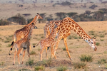 Masai giraffe, Giraffa tippelskirchi = Giraffa camelopardalis tippelskirchi, KenyanTanzanean  species; ruminant, ruminants; giraffe {giraffes have 7 vertebrae in their necks as we do, tongue is 18 to 20 inches long and blue-black, tallest land animals, spend most of their day eating, acacia trees, chew their cud, male & female giraffes have distinct hair-covered horns, these horns are called ossicones; Serengeti National Park, ecosystem is a geographical region in Africa. It is located in northern Tanzania. It spans approximately 30,000 km2 (12,000 sq mi). The Serengeti hosts the second largest terrestrial mammal migration in the world, which helps secure it as one of the Seven Natural Wonders of Africa,[1] and as one of the ten natural travel wonders of the world.[2] The Serengeti is also renowned for its large lion population and is one of the best places to observe prides in their natural environment.[3] The region contains the Serengeti National Park in Tanzania and several game reserves. Approximately 70 large mammal and 500 bird species are found there. This high diversity is a function of diverse habitats, including riverine forests, swamps, kopjes, grasslands, and woodlands.[4] Blue wildebeests, gazelles, zebras, and buffalos are some of the commonly found large mammals in the region. (Wiki ref) Tanzania, is in East Africa, Africa, GiraffeM39333shn.tif