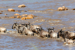 blue wildebeest, Connochaetes taurinus, crossing the Mara River; also called the common wildebeest, white-bearded wildebeest, or brindled gnu, is a large antelope and one of the two species of wildebeests. Three African populations of blue wildebeest take part in a long-distance migration, timed to coincide with the annual pattern of rainfall and grass growth on the volcanic soil short-grass plains where they can find the nutrient-rich forage necessary for lactation and calf growth. Serengeti National Park, ecosystem is a geographical region in Africa. It is located in northern Tanzania. It spans approximately 30,000 km2 (12,000 sq mi). The Serengeti hosts the second largest terrestrial mammal migration in the world, which helps secure it as one of the Seven Natural Wonders of Africa,[1] and as one of the ten natural travel wonders of the world.[2] The Serengeti is also renowned for its large lion population and is one of the best places to observe prides in their natural environment.[3] The region contains the Serengeti National Park in Tanzania and several game reserves. Approximately 70 large mammal and 500 bird species are found there. This high diversity is a function of diverse habitats, including riverine forests, swamps, kopjes, grasslands, and woodlands.[4] Blue wildebeests, gazelles, zebras, and buffalos are some of the commonly found large mammals in the region. (Wiki ref) Tanzania, is in East Africa, Africa, Gnu15716.CR2