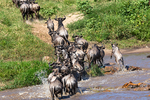 blue wildebeest, Connochaetes taurinus, crossing the Mara River; also called the common wildebeest, white-bearded wildebeest, or brindled gnu, is a large antelope and one of the two species of wildebeests. Three African populations of blue wildebeest take part in a long-distance migration, timed to coincide with the annual pattern of rainfall and grass growth on the volcanic soil short-grass plains where they can find the nutrient-rich forage necessary for lactation and calf growth. Serengeti National Park, ecosystem is a geographical region in Africa. It is located in northern Tanzania. It spans approximately 30,000 km2 (12,000 sq mi). The Serengeti hosts the second largest terrestrial mammal migration in the world, which helps secure it as one of the Seven Natural Wonders of Africa,[1] and as one of the ten natural travel wonders of the world.[2] The Serengeti is also renowned for its large lion population and is one of the best places to observe prides in their natural environment.[3] The region contains the Serengeti National Park in Tanzania and several game reserves. Approximately 70 large mammal and 500 bird species are found there. This high diversity is a function of diverse habitats, including riverine forests, swamps, kopjes, grasslands, and woodlands.[4] Blue wildebeests, gazelles, zebras, and buffalos are some of the commonly found large mammals in the region. (Wiki ref) Tanzania, is in East Africa, Africa, Gnu15904.CR2
