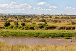 blue wildebeest, Connochaetes taurinus, crossing the Mara River; also called the common wildebeest, white-bearded wildebeest, or brindled gnu, is a large antelope and one of the two species of wildebeests. Three African populations of blue wildebeest take part in a long-distance migration, timed to coincide with the annual pattern of rainfall and grass growth on the volcanic soil short-grass plains where they can find the nutrient-rich forage necessary for lactation and calf growth. Serengeti National Park, ecosystem is a geographical region in Africa. It is located in northern Tanzania. It spans approximately 30,000 km2 (12,000 sq mi). The Serengeti hosts the second largest terrestrial mammal migration in the world, which helps secure it as one of the Seven Natural Wonders of Africa,[1] and as one of the ten natural travel wonders of the world.[2] The Serengeti is also renowned for its large lion population and is one of the best places to observe prides in their natural environment.[3] The region contains the Serengeti National Park in Tanzania and several game reserves. Approximately 70 large mammal and 500 bird species are found there. This high diversity is a function of diverse habitats, including riverine forests, swamps, kopjes, grasslands, and woodlands.[4] Blue wildebeests, gazelles, zebras, and buffalos are some of the commonly found large mammals in the region. (Wiki ref) Tanzania, is in East Africa, Africa, Gnu30063ads.tif