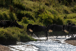 blue wildebeest, Connochaetes taurinus, crossing the Mara River; also called the common wildebeest, white-bearded wildebeest, or brindled gnu, is a large antelope and one of the two species of wildebeests. Three African populations of blue wildebeest take part in a long-distance migration, timed to coincide with the annual pattern of rainfall and grass growth on the volcanic soil short-grass plains where they can find the nutrient-rich forage necessary for lactation and calf growth. Serengeti National Park, ecosystem is a geographical region in Africa. It is located in northern Tanzania. It spans approximately 30,000 km2 (12,000 sq mi). The Serengeti hosts the second largest terrestrial mammal migration in the world, which helps secure it as one of the Seven Natural Wonders of Africa,[1] and as one of the ten natural travel wonders of the world.[2] The Serengeti is also renowned for its large lion population and is one of the best places to observe prides in their natural environment.[3] The region contains the Serengeti National Park in Tanzania and several game reserves. Approximately 70 large mammal and 500 bird species are found there. This high diversity is a function of diverse habitats, including riverine forests, swamps, kopjes, grasslands, and woodlands.[4] Blue wildebeests, gazelles, zebras, and buffalos are some of the commonly found large mammals in the region. (Wiki ref) Tanzania, is in East Africa, Africa, Gnu39212s.tif