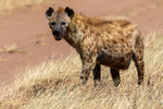 Spotted Hyena, Crocuta crocuta, also known as the laughing hyena, giggly, laughing, largest member of hyena family, can eat one-third their body weight at one meal, one of most vocal mammals in Africa, matriarchal society, low ranking female cubs rank higher than highest ranking male. Serengeti National Park, ecosystem is a geographical region in Africa. It is located in northern Tanzania. It spans approximately 30,000 km2 (12,000 sq mi). The Serengeti hosts the second largest terrestrial mammal migration in the world, which helps secure it as one of the Seven Natural Wonders of Africa,[1] and as one of the ten natural travel wonders of the world.[2] The Serengeti is also renowned for its large lion population and is one of the best places to observe prides in their natural environment.[3] The region contains the Serengeti National Park in Tanzania and several game reserves. Approximately 70 large mammal and 500 bird species are found there. This high diversity is a function of diverse habitats, including riverine forests, swamps, kopjes, grasslands, and woodlands.[4] Blue wildebeests, gazelles, zebras, and buffalos are some of the commonly found large mammals in the region. (Wiki ref) Tanzania, is in East Africa, Africa, HyenaS30908s.tif