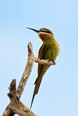 Olive Bee-eater or Madagascar bee-eater, Merops superciliosus; Tarangire National Park, Tanzania, Africa, BeeaterO23535zs.tif