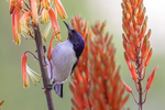 Eastern Violet-backed Sunbird, Kenya Sunbird, Anthreptes orientalis; Tarangire Osupuko Lodge, Tarangire National Park, Tanzania, Africa, SunbirdEVB25685.CR2
