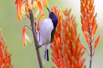 Eastern Violet-backed Sunbird, Kenya Sunbird, Anthreptes orientalis; Tarangire Osupuko Lodge, Tarangire National Park, Tanzania, Africa, SunbirdEVB25686anzhs.tif