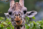 Masai giraffe, Giraffa camelopardalis tippelskirchi; mammals; ruminant, ruminants; giraffe, giraffes have 7 vertebrae in their necks as we do, tongue is 18 to 20 inches long and blue-black, tallest land animals, spend most of their day eating, acacia trees, chew their cud, male & female giraffes have distinct hair-covered horns, these horns are called ossicones; Masai giraffe, Giraffa camelopardalis tippelskirchi {Kenyan, Tanzanian, East African species; Arusha National Park; Mount Meru, covers Mount Meru, a prominent volcano with an elevation of 4566 m, in the Arusha Region of north eastern Tanzania. The park is small but varied with spectacular landscapes in three distinct areas. In the west, the Meru Crater funnels the Jekukumia River; the peak of Mount Meru lies on its rim. Ngurdoto Crater in the south-east is grassland. The shallow alkaline Momella Lakes in the north-east have varying algal colours and are known for their wading birds. Tanzania, is in East Africa, Africa, GiraffeM78394_p.tiff