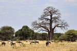 blue wildebeest, Connochaetes taurinus, white-bearded wildebeest, brindled gnu; Masai Ostrich, Pink-necked ostrich, Struthio camelus; African Baobab, Adansonia digitata, dead-rat-tree, monkey-bread-tree, Tarangire National Park, Tanzania, Africa, Baobob80353_P.jpg