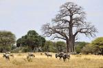 blue wildebeest, Connochaetes taurinus, white-bearded wildebeest, brindled gnu; Masai Ostrich, Pink-necked ostrich, Struthio camelus; African Baobab, Adansonia digitata, dead-rat-tree, monkey-bread-tree, Tarangire National Park, Tanzania, Africa, Baobob80365_P.jpg