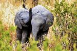 African bush elephant, Loxodonta africana, young, immature, baby, babies, juvenile,Tarangire National Park, Tanzania, Africa, Elephant89975Ph.jpg