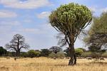 Candelabra Tree, Euphorbia bussei, very poisonous sap to touch; blue wildebeest, Connochaetes taurinus, white-bearded wildebeest, brindled gnu; African Baobab, Adansonia digitata, Tarangire National Park, Tanzania, Africa, EuphorbiaC80340_P.jpg