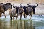 blue wildebeest, Connochaetes taurinus, white-bearded wildebeest, brindled gnu; drinking at pool; Tarangire National Park, Tanzania, Africa, Gnu83175Pznhs.tif