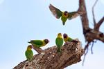 yellow-collared lovebird, Agapornis personatus; masked lovebird, Black-masked lovebird, eye ring lovebird, endemic to Tanzania, Tanzanian endemic, African endemic; Tarangire National Park, Tanzania, Africa, LovebirdsYC78819Phs.jpg