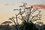 marabou stork, Leptoptilos crumenifer, sunrise, sunrisewith birds, daybreak, dawn, sun upSerengeti National Park, ecosystem is a geographical region in Africa. It is located in northern Tanzania. It spans approximately 30,000 km2 (12,000 sq mi). The Serengeti hosts the second largest terrestrial mammal migration in the world, which helps secure it as one of the Seven Natural Wonders of Africa,[1] and as one of the ten natural travel wonders of the world.[2] The Serengeti is also renowned for its large lion population and is one of the best places to observe prides in their natural environment.[3] The region contains the Serengeti National Park in Tanzania and several game reserves. Approximately 70 large mammal and 500 bird species are found there. This high diversity is a function of diverse habitats, including riverine forests, swamps, kopjes, grasslands, and woodlands.[4] Blue wildebeests, gazelles, zebras, and buffalos are some of the commonly found large mammals in the region. (Wiki ref) Tanzania, is in East Africa, Africa, StorkM80014D_P.tiff