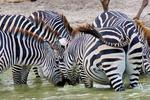 Common Zebra or Plains Zebra, Equus quagga, formerly Equus burchellii; drinking at pool; Tarangire National Park, Tanzania, Africa, ZebraC83358Pzs.tif
