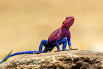 Mwanza flat-headed rock agama, Agama mwanzae or the Spider-Man agama, because of its coloration, is a lizard reptile in the family Agamidae, found in Tanzania, Rwanda, and Kenya; Serengeti National Park, ecosystem is a geographical region in Africa. It is located in northern Tanzania. It spans approximately 30,000 km2 (12,000 sq mi). The Serengeti hosts the second largest terrestrial mammal migration in the world, which helps secure it as one of the Seven Natural Wonders of Africa,[1] and as one of the ten natural travel wonders of the world.[2] The Serengeti is also renowned for its large lion population and is one of the best places to observe prides in their natural environment.[3] The region contains the Serengeti National Park in Tanzania and several game reserves. Approximately 70 large mammal and 500 bird species are found there. This high diversity is a function of diverse habitats, including riverine forests, swamps, kopjes, grasslands, and woodlands.[4] Blue wildebeests, gazelles, zebras, and buffalos are some of the commonly found large mammals in the region. (Wiki ref) Tanzania, is in East Africa, Africa, Agama30642as.jpg