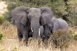 African bush elephant, Loxodonta africana, Tarangire National Park, Tanzania, Africa, Elephant89925hs.tif