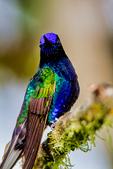 velvet-purple coronet, Boissonneaua jardini, near endemic to Colombia with a small range in Ecuador, Choco bioregion, Tandayapa Bird Lodge, cloud forest; neotropical,Tandayapa Valley, Ecuador, South America; CoronetVP4676zsP.tiff