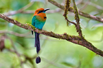 Broad-billed Motmot Electron platyrhynchum, Canopy Lodge, in the hills of El Valle de Antón. Panama, Central America, MotmotBb45394czs_P.tiff