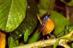 Chestnut-backed Antbird, Myrmeciza exsul, Rio Claro Reserve, Cabanas la Mulata, Colombia, South America; AntbirdCB80154andhsb.tif