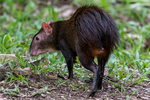Red-rumped Agouti, Dasyprocta leporina, Brazilian agouti, Cutia in Brazil, Acure in Venezuela, rodent, Rodentia; Agouti,  Dasyproctidae, important seed dispersers, primarily herbivores;  Asa Wright Nature Center, They are South American natives and are distributed widely in Venezuela, French Guiana and Amazon forests of Brazil (Asquith et al. 1999; Dubost 1998). They behave suspiciously of approaching animals as they are often preyed upon. For this reason, they are often found in pairs or with their partner in near proximity. Predators include mammals like the ocelot, jaguar, snakes, like boas and humans that hunt them (Wilson and Reeder 2005). Comprising nearly 1,500 acres of mainly forested land in the Arima and Aripo Valleys of the Northern Range, The Centre's main facilities are located on a former cocoa-coffee-citrus plantation, previously known as the Spring Hill Estate. This estate has now been partly reclaimed by secondary forest, surrounded by impressive rainforest, where some original climax forest on the steeper slopes have a canopy of 100-150 feet. The whole effect is one of being deep in tropical rainforest.Trinidad, Caribbean; AgoutiRR0835s.tif