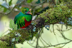 Quetzal, Resplendant Quetzal, Pharomachrus mocinno, trogon, Trogonidae, male, eating an avacodo, tree, cloud forest, bird, wet montane forest, Savegre, Savegre Mountain Hotel, Costa Rica, Central America, QuetzalR48525czhs.tif