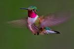 Broad-tailed hummingbird, Selasphorus platycercus; male, adult, Rocky Mountain National Park, Colorado, USA; HummingbirdBt4639sxs.tif