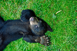 American black bear, Ursus americanus, cub, young, baby, most common, adaptable, versatile, crepuscular; Blue Ridge Parkway, North Carolina; BearB1203-0008_3.tif