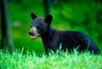 American black bear, Ursus americanus, cub, young, baby, most common, adaptable, versatile, crepuscular; Blue Ridge Parkway, North Carolina; BearB1203-0011_4.tif