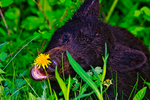 American Black Bear, Ursus americanus; cub eating sniffing a dandelion, young, baby, Waterton National Park, Alberta, Canada; BearnB1003781dzs_9.tif