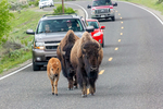American Bison, Bison bison, on the road creating a Buffalo Jam,  mammals; young, immature, baby, babies, juvenile; North America; United States of America {America, U.S., United States, US, USA}; Wyoming, WY, Yellowstone National Park {Yellowstone Park},  Lamar Valley, often called the Serengeti of North America, an area with an abundance of large mammals and excellent wildlife viewing, animals; wildlife {undomesticated animals}; mammals {beast, beasts}; ruminant {ruminants};  {buffalo}