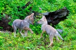 Coyote, Canis latrans, pup, puppies, DDD Game Ranch, Kalispell, near Glacier National Park, Montana; North America; United States of America, Coyote22575_3.tif
