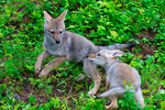 Coyote, Canis latrans, pup, puppies, DDD Game Ranch, Kalispell, near Glacier National Park, Montana; North America; United States of America, Coyote97537_24.tif