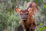 elk, wapiti, Cervus canadensis, animals; wildlife, mammals mammal; ruminant ruminants; Wyoming, Grand Teton National Park, Teton Range, Jackson Hole, Jackson Lake area, young, immature, baby, babies, Elk232128zsn.tif