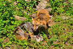 Red Fox, Vulpes vulpes,  = Vulpes fulva;  young, immature, baby, babies, juvenile; DDD Game Ranch, Kalispell, near Glacier National Park, Montana; North America; United States of America, FoxR65906_2.tif