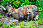 Red Fox, Vulpes vulpes,  = Vulpes fulva;  young, immature, baby, babies, juvenile; DDD Game Ranch, Kalispell, near Glacier National Park, Montana; North America; United States of America, FoxR91664.CR2