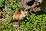 Red Fox, Vulpes vulpes,  = Vulpes fulva;  young, immature, baby, babies, juvenile; DDD Game Ranch, Kalispell, near Glacier National Park, Montana; North America; United States of America, FoxRF0626_6.tif