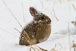 Mountain Cottontail, Sylvilagus nuttalli, Rocky Mountain National Park, Colorado, USA; MtCottontail3B6538z2n_ARS.tif