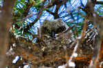 great horned owl, Bubo virginianus,  immature, hatching year, young, HY,  juvenile, Tiger Owl, large native owl, prominent ear tufts, one of the most widespread owls in North America, one of the most common owls in North America, Grand Teton National Park, Wyoming, OwlDGH3B4692_67.tif
