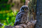great gray owl, Strix nebulosa; baby, babies, nestling, nest, local; altricial, bird, avian; bird of prey, raptor, predatory, predator; owls, owl, nocturnal, hunts, hunts at night, facial disk; rare, threatened species; Yellowstone National Park,  Wyoming, United States of America, OwlGG388786_68.tif