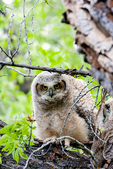 great horned owl, Bubo virginianus;  age; baby, babies, nestling, nest, local; altricial, immature, hatching year, young, HY {juvenile};  bird of prey {raptor, predatory, predator}; owls, owl {nocturnal, hunts, hunts at night, facial disk};  {GHOW, Tiger Owl, large native owl, prominent ear tufts, one of the most widespread owls in North America, one of the most common owls in North America}; Gros Ventre campground, camping {camp}; tent, tenting, Wyoming, Grand Teton National Park, Teton Range, Jackson Hole, OwlGH4C1756_ARS.CR2