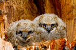 great horned owl, Bubo virginianus; baby babies in nest, immature, hatching year, young, HY; bird, bird of prey; owls, owl;  Ontario, Canada, GHOW7D1965.CR2