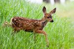 Mule Deer, Odocoileus hemionus, fawn, baby, young, Waterton National Park, Alberta, Canada; Elkn1003567_AnnRobSimpson.CR2